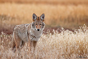 Coyote au Yellowstone (Canis latrans)