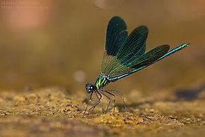 Caloptéryx occitan (Calopteryx xanthostoma)
