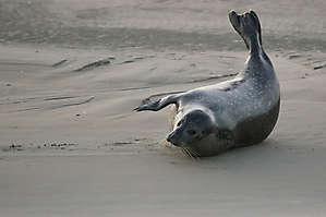 Phoque gris - Berk (62)