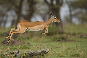 Dame Impala bondissant