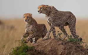 Les Guépards partent à la chasse