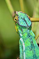 Caméléon panthère - Madagascar