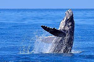 La valse du baleineau - Madagascar