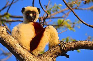 Makis et baobabs - Madagascar