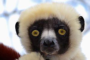 Un regard si tendre... - Madagascar