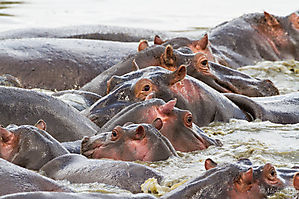 Hippopotames - Serengeti