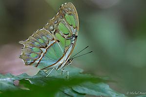 Malachite - Rincon de la Vieja - Costa Rica