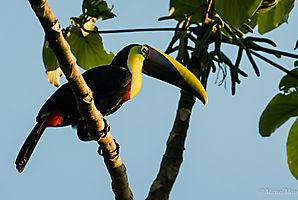 Toucan de Swainson - Corcovado - Costa Rica