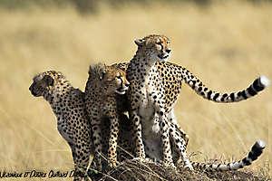 Famille de guépards