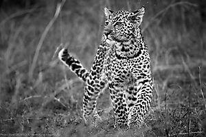 Léopard  - Panthera pardus