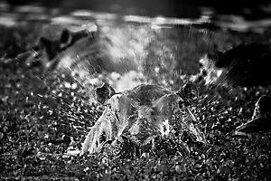 Hippopotame - Hippopotamus amphibius