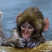 Macaque japonais - Macaca fuscata_19