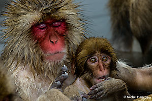 Macaque japonais - Macaca fuscata_1