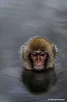 Macaque japonais - Macaca fuscata_8