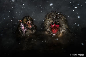 Macaque japonais - Macaca fuscata_12