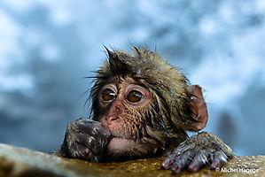 Macaque japonais - Macaca fuscata_7