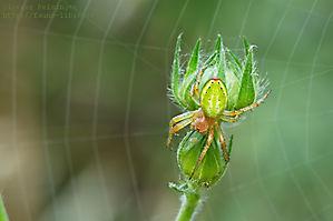 Araignée-courge