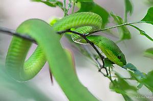 Green pit viper (Trimeresurus albolabris)