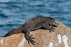 les Iguanes marins à la plage