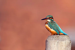 Martin pêcheur