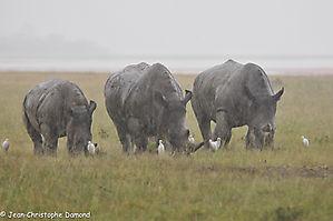 Rhino à l'eau