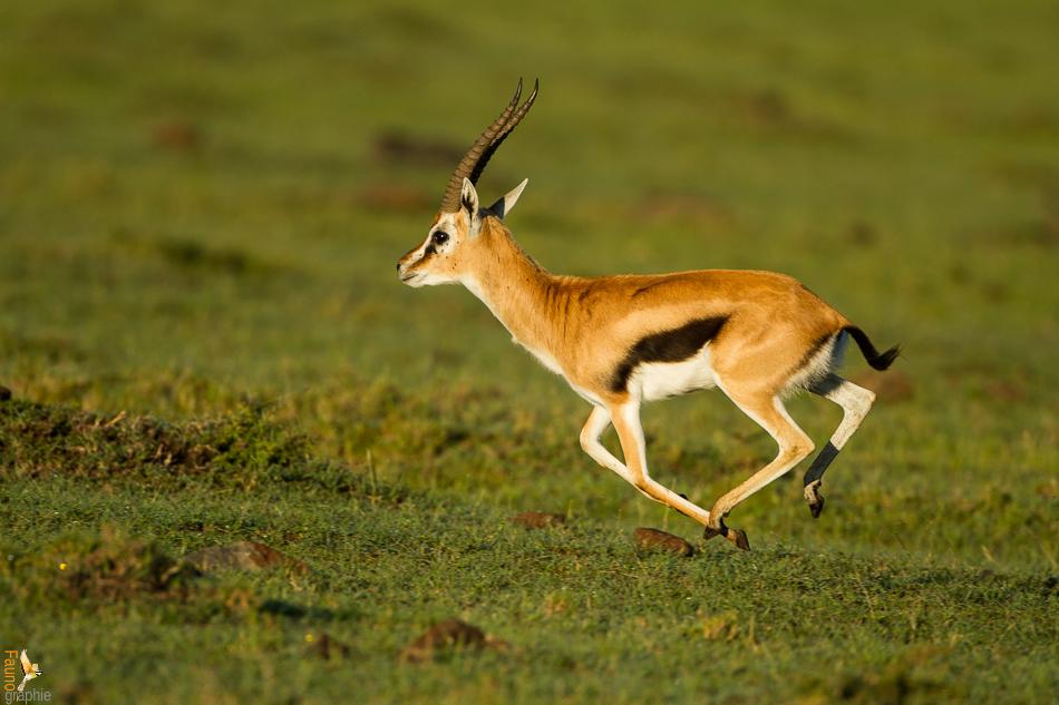 Gazelle-1.jpg