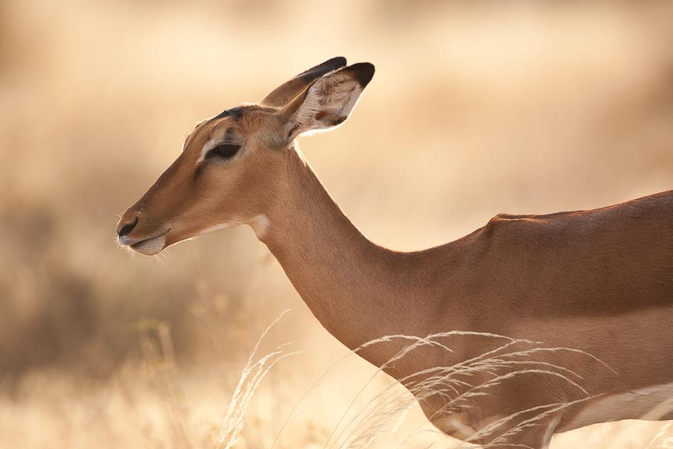 impala-4.jpg