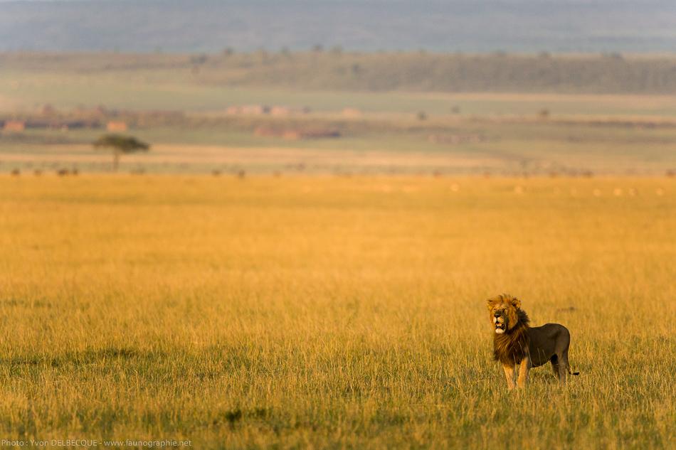 lion-0036.jpg