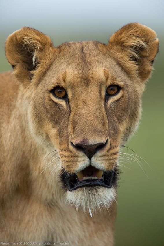 lion-11-2.jpg