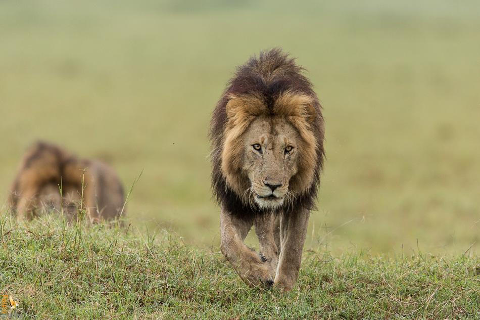 lion-xavier-2.jpg