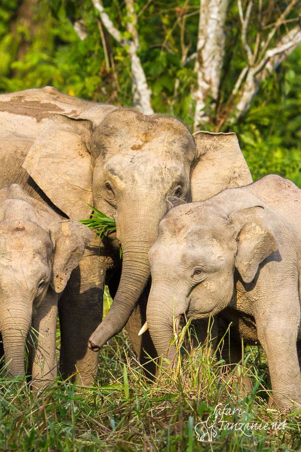 elephant-de-borneo-3500.jpg