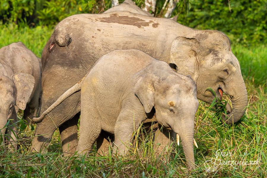 elephant-de-borneo-3502.jpg