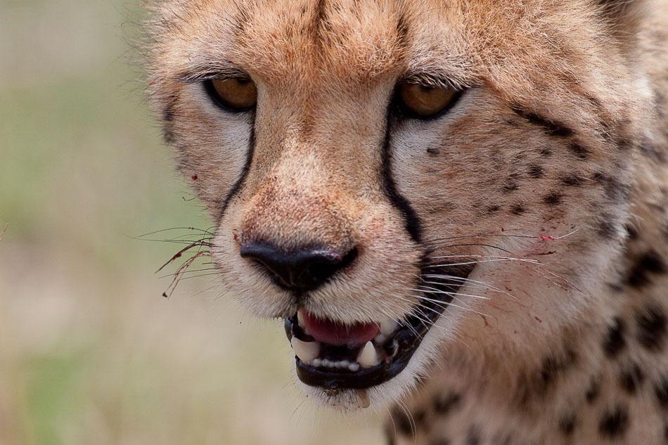guepard-4764-2.jpg