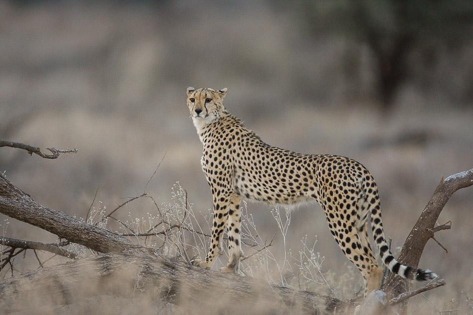guepard_samburu-1176.jpg