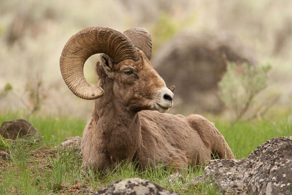 mouflon_d'amerique-0223.jpg