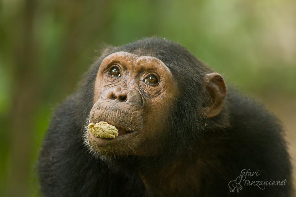 bl-chimpanze-7418.jpg
