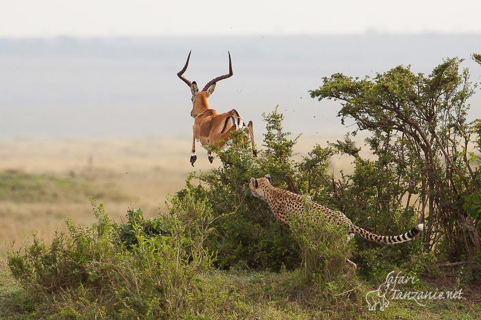 guepard_impala-4512.jpg