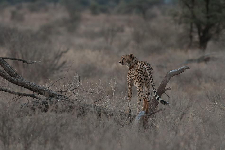 guepard_samburu-0091.jpg