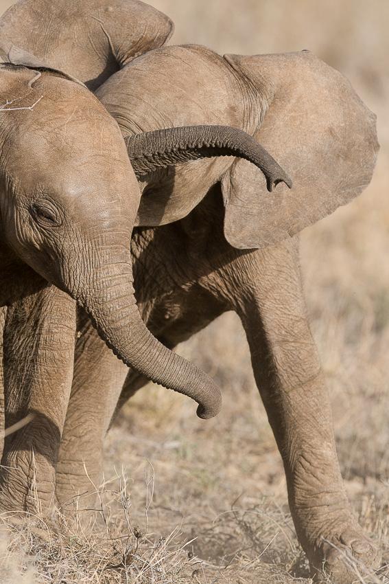 jeu_elephant_samburu-0128.jpg